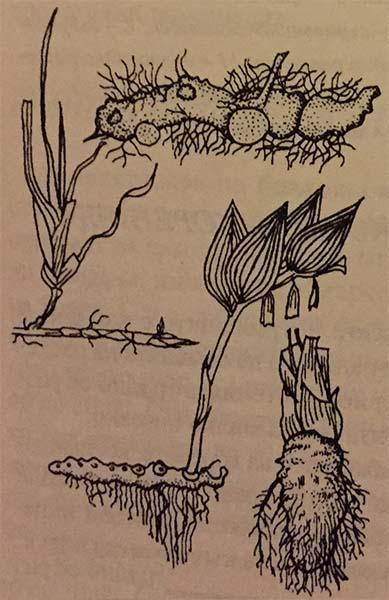 коренище