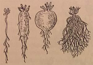 Видове корени
