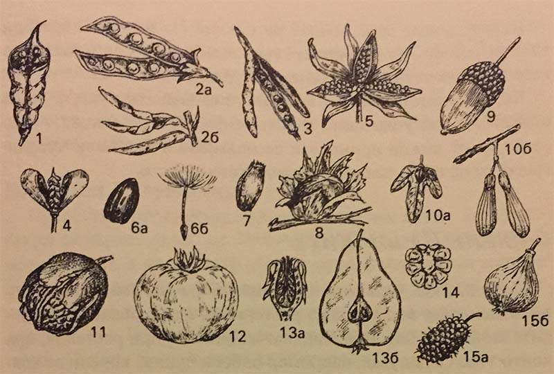 видове плодове
